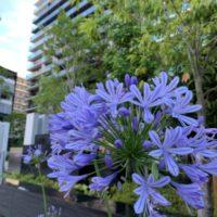 アガパンサスは大阪・梅田・京橋の結婚相談所「マリアージュカフェumakuiku」のコーポレートフラワーです。